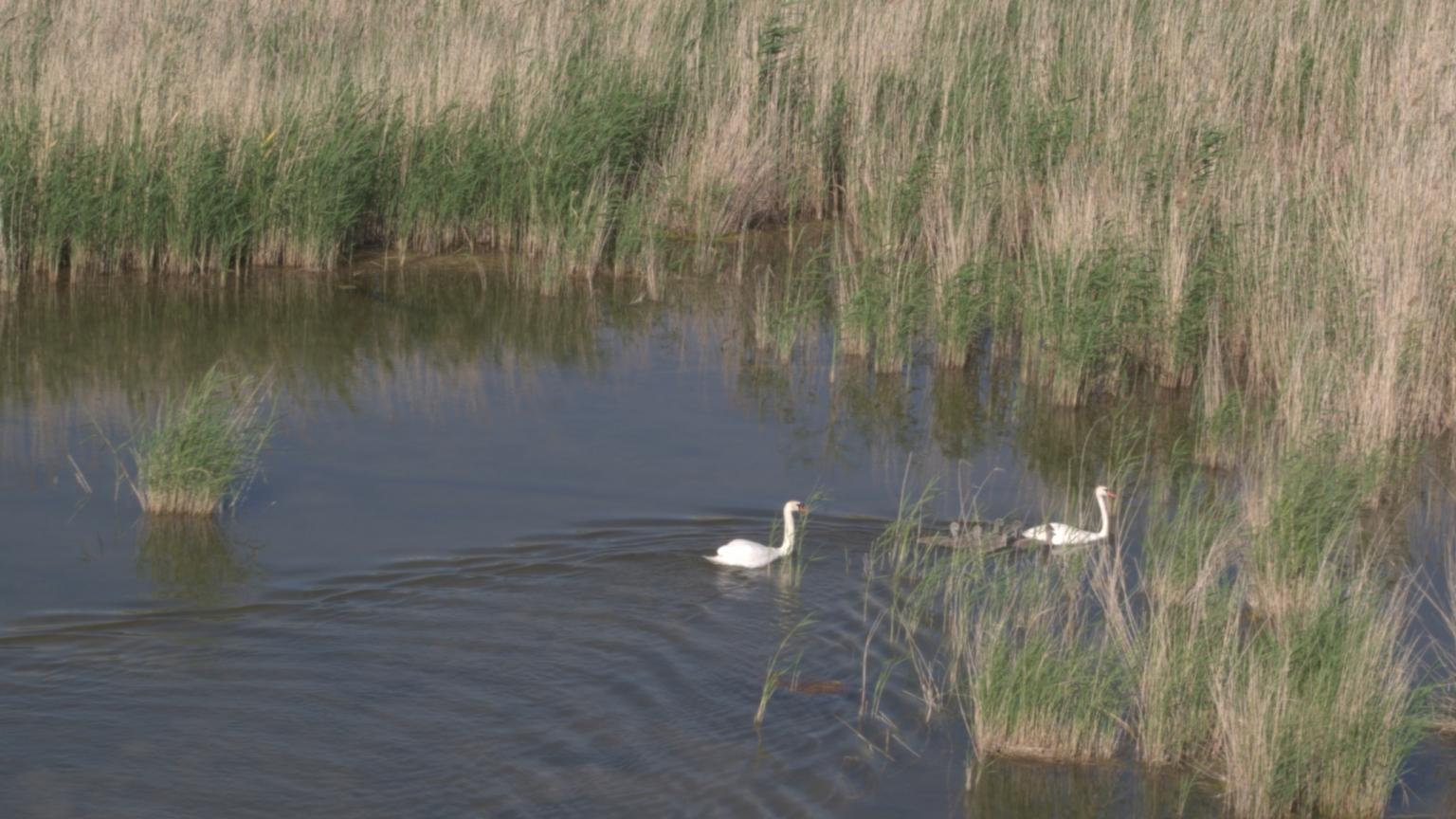 Aslykul_swans_animals_uralmovie_flycamaero